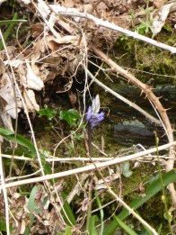 the first bluebell