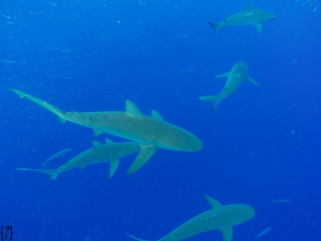16 Cage Diving Galapagossharks