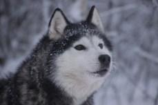 Chilam, chien de traineau