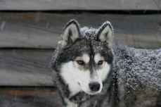 Inari, chien de traineau