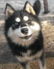 Iroquois, chien de traineau