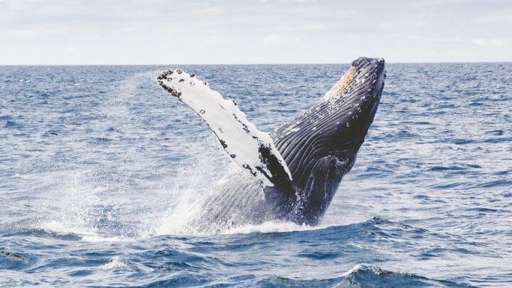 カナダ、動物、クジラ