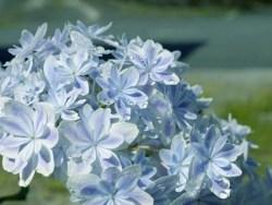 紫陽花の種類と人気品種を画像で紹介、プレゼントに最適なのはどれ?