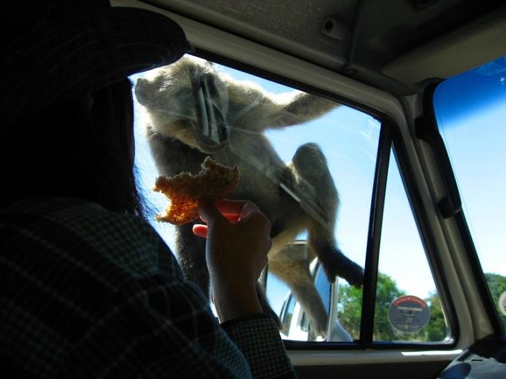 車での移動中にヒヒに遭遇。 車の中でみんなが食べているお菓子を狙いにくるのだ