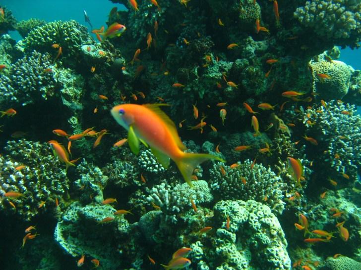 紅海は、透明な海と珊瑚礁に囲まれた楽園。珊瑚礁の海に飛び込めばそこには竜宮城のような世界が広がっている。 一年中ダイビングが楽しめるのも魅力のひとつ