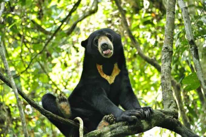 Contoh Teks Observasi Singkat Tentang Beruang Madu