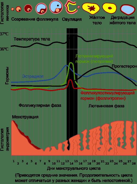 Менструальный цикл и первый секс