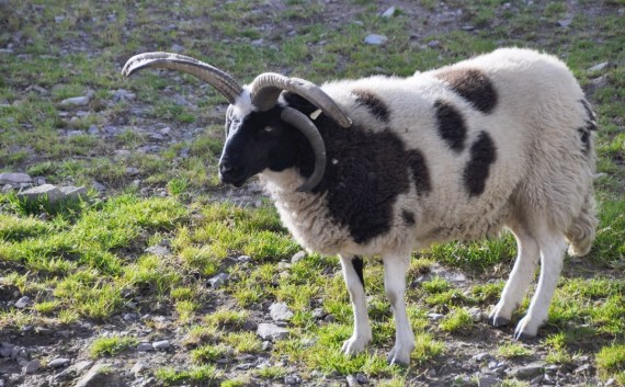 jacob spotted sheep
