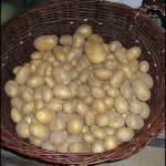 Kartoffelernte – Harvest time!