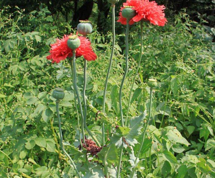 Mohnpflanze in einem Beet