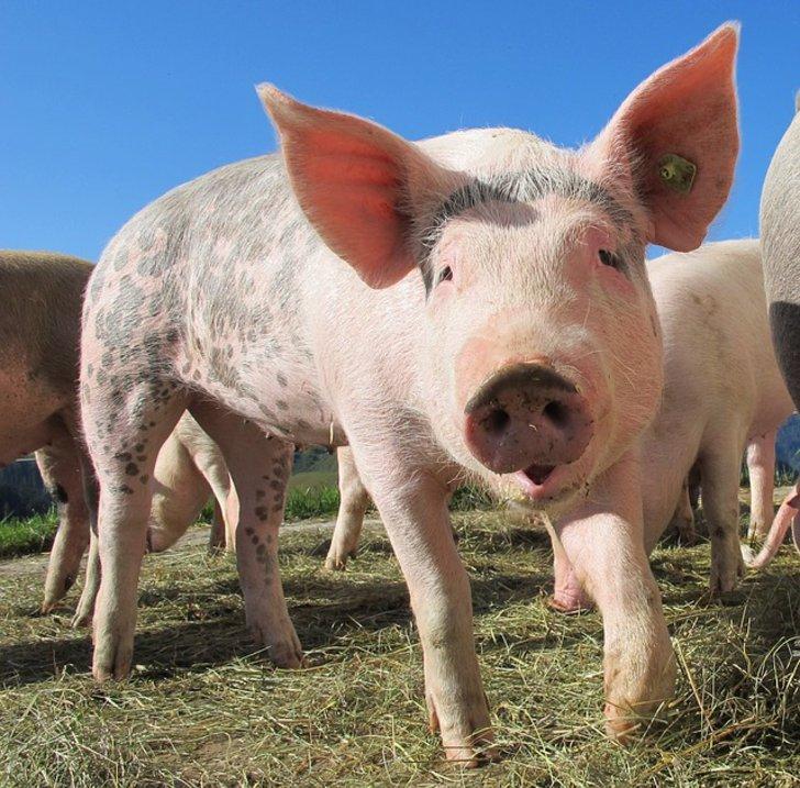 Ein glückliches Schwein auf der Weide