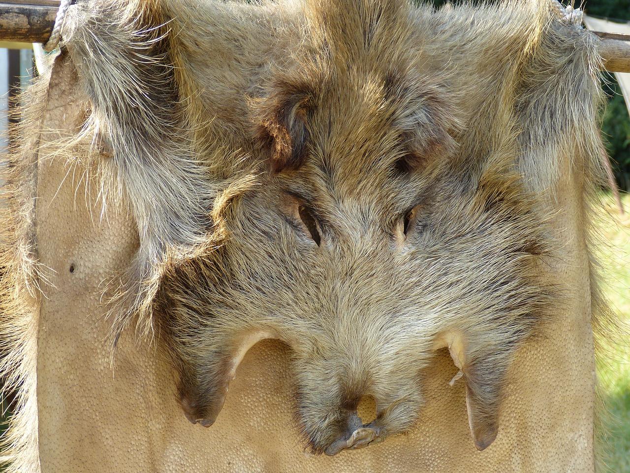 Kopf eines Wildschweinfells