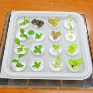 低カリウム化栽培用苗