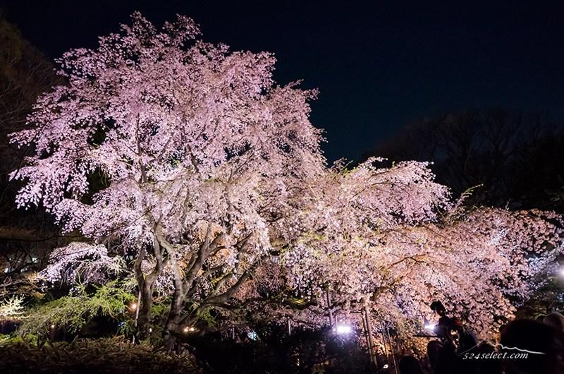 東京都駒込の六義園 しだれ桜のライトアップ見頃は?六義園のしだれ桜の撮影攻略