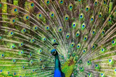 peacock-pen-alluring-yet-lure-658941