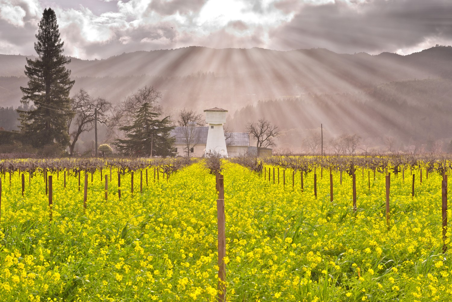 Napa Valley vineyards and mustard yellow flowers beneath a beautiful light pouring from the sky