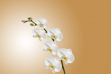 Orchid Flower Background 12