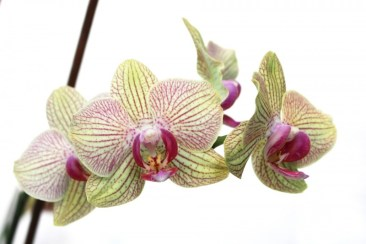 Orchid Flower Background 14