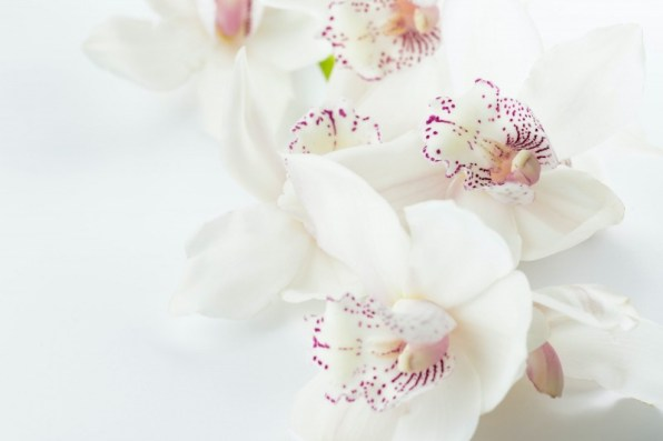 Orchid Flower Background 4