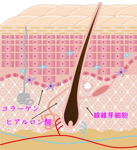 弾力がある肌の断面図(イメージ)