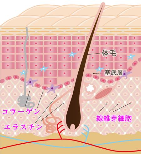 肌弾力の断面図の画像