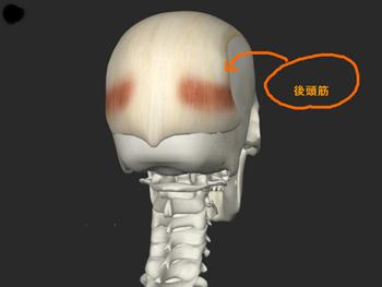 後頭筋の画像