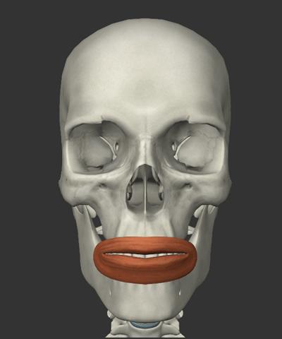 口輪筋の画像