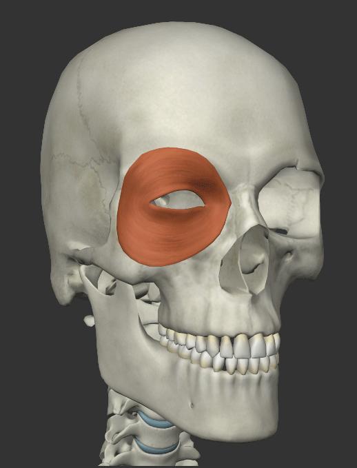 眼輪筋の画像