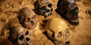 ^BHuman ancestor skulls.^b Five skulls belonging to some ancestors and relatives of modern humans. The three skulls at left are, from bottom left to top centre, ^IAustralopithecus africanus^i (3-1.8 million years ago), ^IHomo^i ^Ihabilis^i (or ^IH.^i ^Irudolfensis^i, 2.1- 1.6 mya) and ^IHomo erectus^i (or ^IH. ergaster^i, 1.8-0.3 mya, although the ^Iergaster^i classification is generally recognised to mean the earlier part of this period). The black skull at upper right is from a modern human (^IHomo sapiens sapiens^i) from the Qafzeh site in Israel, which is around 92,000 years old. The pale skull at lower right is from a French Cro-Magnon human, a later form of the same species, from around 22,000 years ago.