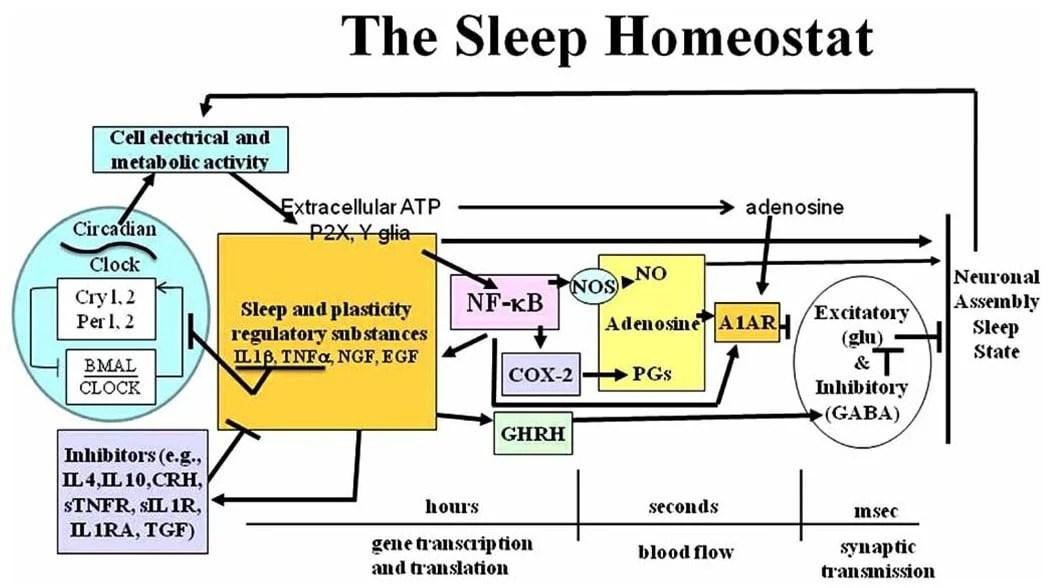 How Brain Health Amp Neurotransmitters Affect Sleep Selfhacked