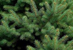 pine bark extract from tree
