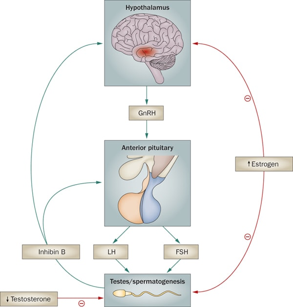 inhibin HPG axis