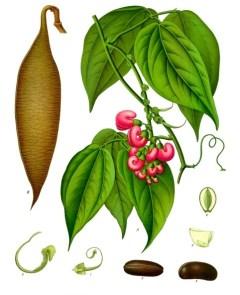Physostigma venenosum calabar bean
