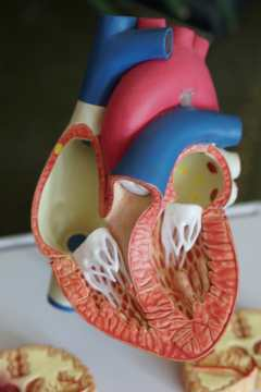 Anatomical model of the heart