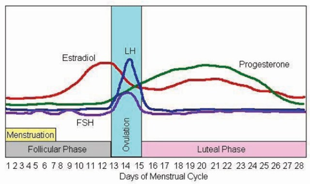 hormonal fluctuations during the female menstrual cycle