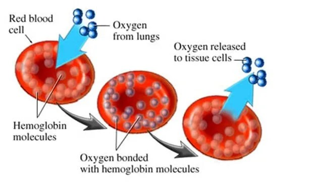 Image result for red blood cells hemoglobin iron b12