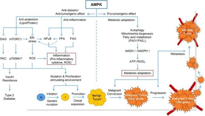 ampk_disease