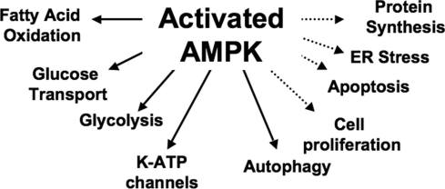 Trigger AMPK to Increase Mitochondrial Density