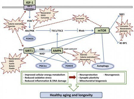 Neurohormetic-Phytochemicals-Plant-Compounds-affecting-AMPk-SIRT1-mTOR-IGF-1...-2
