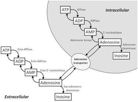 Adenosine and the Immune system