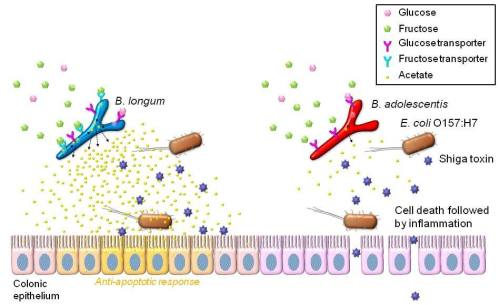 b-longum-activity