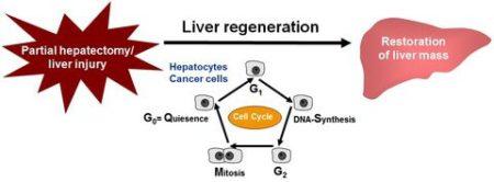 How To Regenerate Your Liver Naturally 6 Step Program