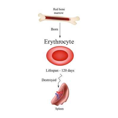 bigstock-limbo-erythrocytes-in-bone-mar-115622687-min