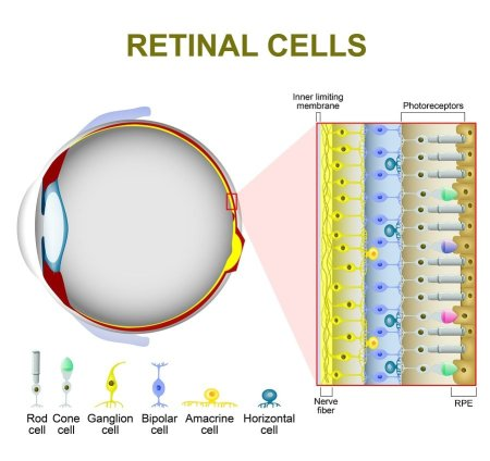 Photoreceptor cells in the retina of the eye. retinal cells. rod cell and cone cell. The arrangement of retinal cells is shown in a cross section.