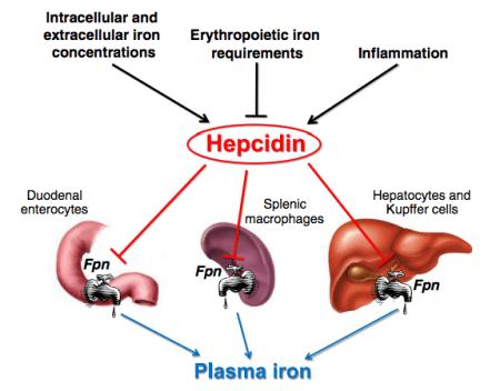 Hepcidin and iron balance, source: https://www.ncbi.nlm.nih.gov/pubmed/22306005