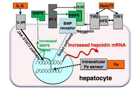 Current understanding of how Hepcidin level is regulated, including by the inflammatory cytokine IL-6 source: https://www.ncbi.nlm.nih.gov/pubmed/22306005