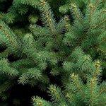 bigstock-Pine-Tree-1294339-min