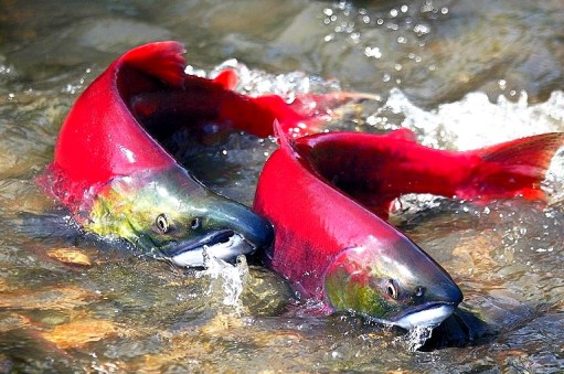 pacific salmon spawning