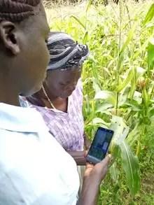 Rosalind and Emiliana inspecting maize damage using an app.