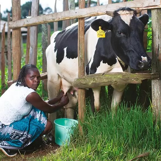 Christmas gift for Africa Cow
